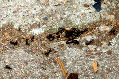 Carpenter Ants - Dead Ants on Ground