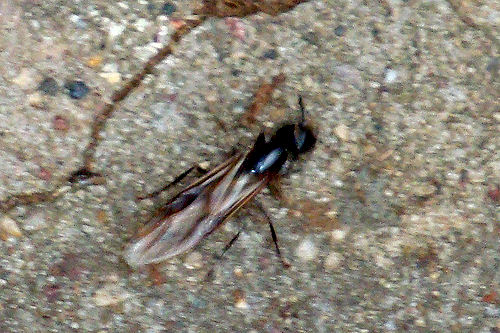 Carpenter Ants - Dead Winged Ant