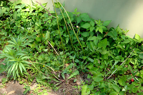 Before the Raised Garden - Strawberries