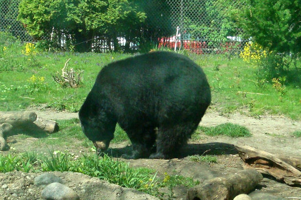 Chicago 2011 - Black Bear