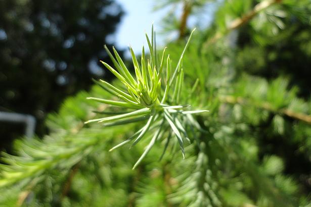Larch Tree - Branch Detail