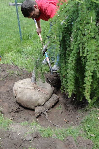 Larch Tree - Filling in Dirt