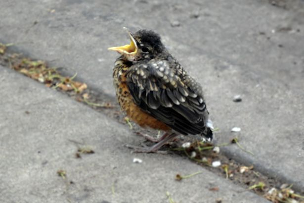 Chicago 2013 Part Two - Baby Robin